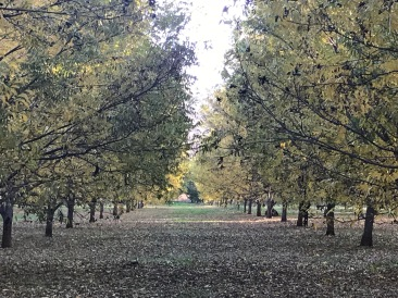 The Pecan trees ready to be harvested.